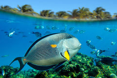 Sohal surgeonfish (Acanthurus sohal) on the coral reef Stock Images