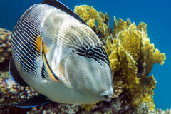Sohal surgeonfish (Acanthurus sohal) with coral reef Red Sea Egypt Stock Images