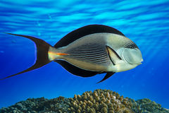 Sohal surgeonfish (Acanthurus sohal) with coral reef Red Sea Egypt Royalty Free Stock Image