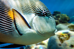 Sohal surgeonfish (Acanthurus sohal) with coral reef Red Sea Egypt Royalty Free Stock Photo