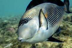 Sohal surgeonfish (Acanthurus sohal) with coral reef Red Sea Egypt Stock Photo