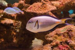 Sohal surgeonfish Royalty Free Stock Photography