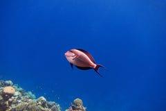 Sohal Surgeonfish in blue water Stock Photos