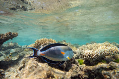 Sohal Surgeonfish on the coral reef Royalty Free Stock Photo