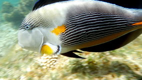 Sohal Surgeonfish On The Coral Reef. Slow motion clip of a sohal surgeon fish at the red sea coral reef stock video