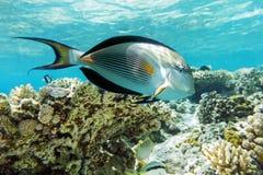 Sohal surgeonfish (den sohal acanthurusen) med korallreven Arkivbild