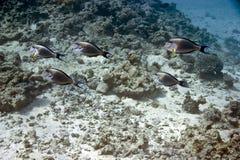 sohal surgeonfish för acanthurus Arkivfoton