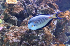 Sohal surgeonfish Royalty Free Stock Photos