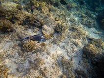 Sohal surgeonfish of het sohal zweempje, sohal Acanthurus stock afbeeldingen