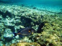 Sohal Surgeonfish im Roten Meer Lizenzfreie Stockfotografie
