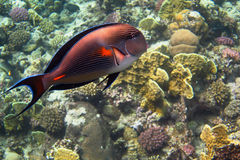 Sohal Surgeonfish large view Stock Photography