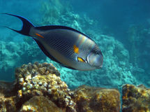 Sohal Surgeonfish over reef, Egypt. Royalty Free Stock Photos