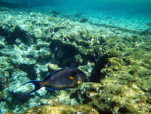 Sohal surgeonfish in the Red Sea Royalty Free Stock Photography