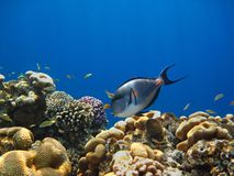 Sohal surgeonfish on the reef in the Red Sea Royalty Free Stock Photo
