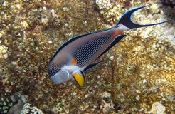 Sohal surgeonfish on the reef in the Red Sea Stock Photography