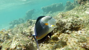 Sohal surgeonfish swimming in coral reef. Slow motion close-up shot of a sohal surgeonfish swimming in coral reef of Red Sea, Egypt. Sea life stock video footage