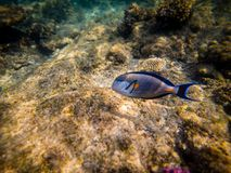 The Shoal surgeonfish or Shoal tang, Acanthurus sohal.  royalty free stock photography