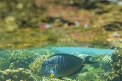 Sohal surgeonfish under wave Stock Images