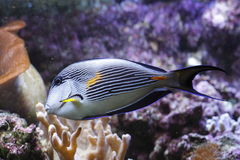 Sohal tang. The sohal surgeonfish or sohal tang, Acanthurus sohal, is a Red Sea endemic which grows to 16 inches in the wild. Its striking blue and white royalty free stock photos