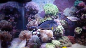Sohal tang in coral reef aquarium Royalty Free Stock Images