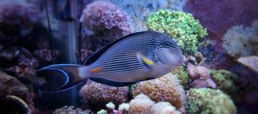 Sohal tang in coral reef aquarium Royalty Free Stock Image