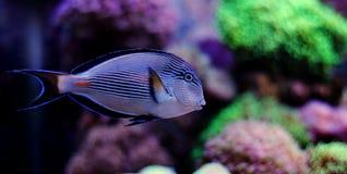 Sohal tang in coral reef aquarium Royalty Free Stock Photography