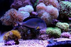 Sohal Tang majestic aquarium fish Royalty Free Stock Photography