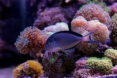 Sohal Tang majestic aquarium fish Stock Photo