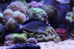 Sohal Tang majestic aquarium fish Royalty Free Stock Images