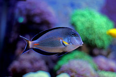Sohal Tang majestic aquarium fish Royalty Free Stock Image