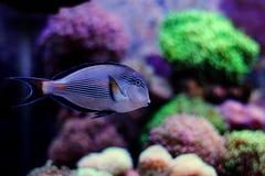 Sohal Tang majestic aquarium fish Stock Photography
