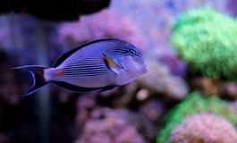 Sohal Tang majestic aquarium fish Royalty Free Stock Photo