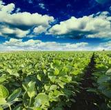 Soi śródpolny dojrzenie przy wiosna sezonem, rolniczy krajobraz zdjęcia stock