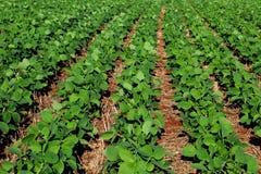 Soi kultywacja w południe Brazylia Piękna zieleń odpowiada dorośnięcie zdjęcie stock