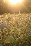 Soi pole przy zmierzchem Zdjęcie Royalty Free