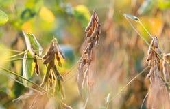Soi roślina przy słonecznym dniem Zdjęcie Royalty Free