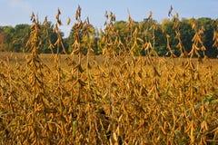 Soia Bean Field Fotografie Stock