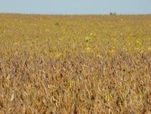 Soia Bean Field fotografie stock libere da diritti