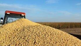 Soia Bean Harvest Fotografie Stock
