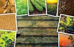 Soia che coltiva in collage della foto di agricoltura Immagini Stock Libere da Diritti