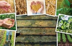 Soia che coltiva in collage della foto di agricoltura Fotografie Stock Libere da Diritti