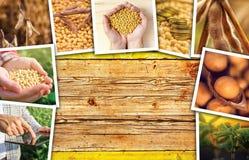 Soia che coltiva in collage della foto di agricoltura Fotografia Stock