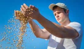 Soia del raccolto Fotografia Stock Libera da Diritti