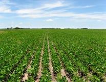 soia del raccolto Immagine Stock Libera da Diritti