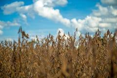 Soia della piantagione del giacimento della soia Fotografie Stock Libere da Diritti