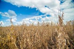 Soia della piantagione del giacimento della soia Immagini Stock Libere da Diritti