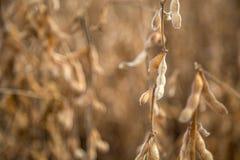 Soia della piantagione del giacimento della soia Fotografia Stock Libera da Diritti