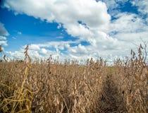 Soia della piantagione del giacimento della soia Fotografie Stock