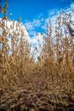 Soia della piantagione del giacimento della soia Immagine Stock Libera da Diritti