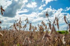 Soia della piantagione del giacimento della soia Immagine Stock